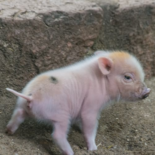 buntebentheimerlandschweine_web