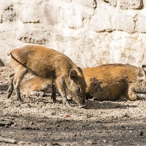 wildschweine_web
