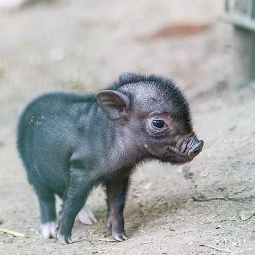 microschweine_web