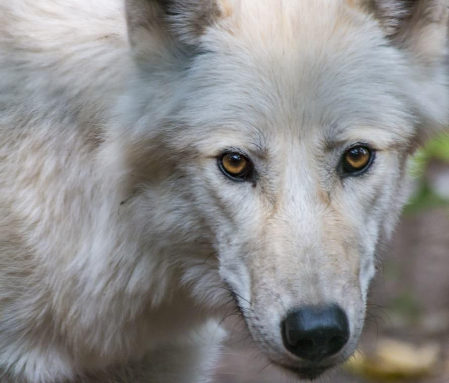 tile1wolf_web