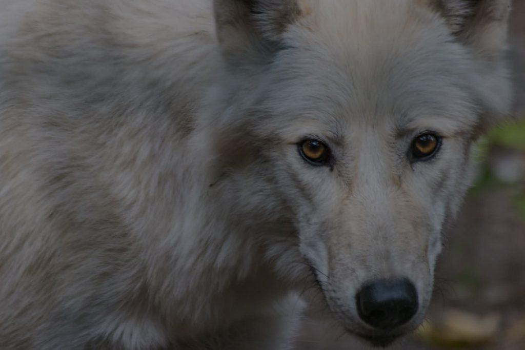 wolf1280p_web