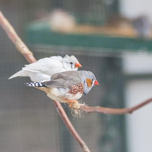 zebrafinken_web
